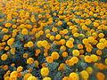 Marigold - ചെട്ടിമല്ലി 009.JPG
