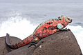 Marine-Iguana-Espanola.jpg