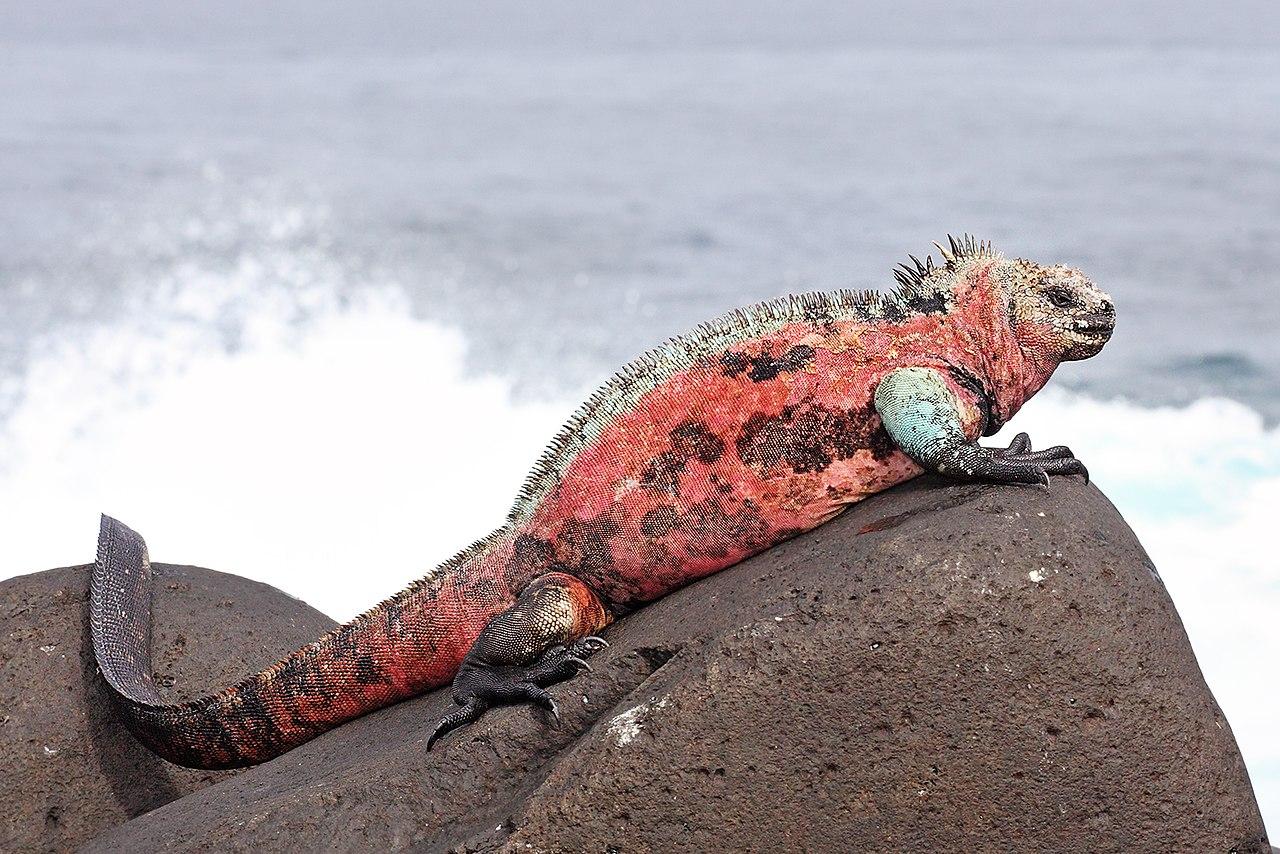 Préférence File:Marine-Iguana-Espanola.jpg - Wikipedia OF65