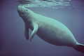 Marine mammal animal manatee surfacing to breathe.jpg