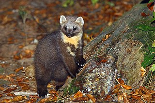 Species of mammal native to northern Europe belonging to the mustelid family