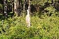 Mežs, Ropažu pagasts, Ropažu novads, Latvia - panoramio.jpg