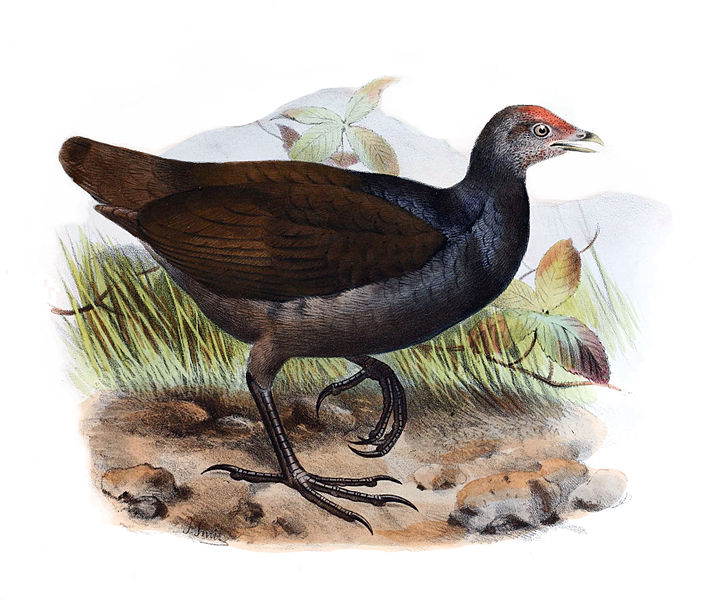File:Megapodius eremita.jpg