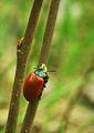 Melasoma populi Chrysomela populi.jpg