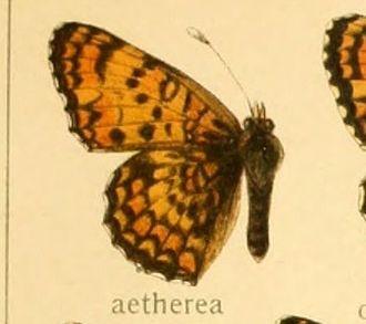 Aetherie fritillary - Melitaea aetherea figure in Adalbert Seitz