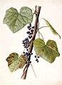 Menispermum canadense FAWalpole.jpg