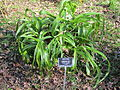 Mercer Arboretum, 2012, Crinum Lily.JPG