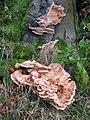 Meripilus giganteus - geograph.org.uk - 250626.jpg