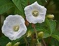 Merremia aegyptia (M pantaphylla) in Hyderabad, AP W2 IMG 2527.jpg