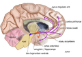 Mesolimbic mesocortical pathway.png