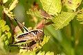 Metrioptera.brachyptera5.-.lindsey.jpg