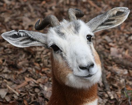 Mhorr Gazelle Close Up.jpg