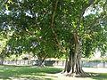 Miami, FL Morningside Park tree.jpg