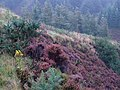 Mist and Heather on the Ross Road, Arran - geograph.org.uk - 699821.jpg