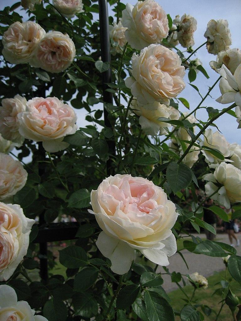 File:Mon Jardin et Ma Maison 3504.jpg - Wikimedia Commons