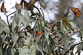Monarch Butterflies Overwintering in Pacific Grove, California (31297443490).jpg