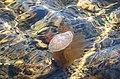 Moon jellyfish at Govik beach 1.jpg