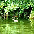 Moorhen on River Bure - geograph.org.uk - 449586.jpg