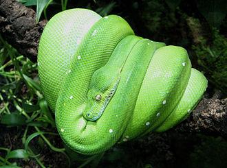 Green tree python - Image: Morelia viridis