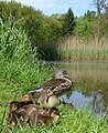 Mother Mandarin duck with 5 chickens at Warnsborn pond with its characterisric reed vegetation^ A happy family - panoramio.jpg