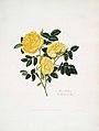 Mrs Lawrences Beautiful Roses.jpg
