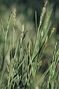 Muhlenbergia richardsonis (4101223020).jpg
