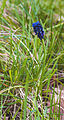 Muscari neglectum, Agde 01.jpg