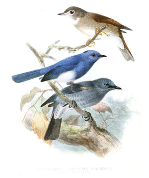 Dull-blue flycatcher - Dull-blue flycatcher (below) with brown-breasted flycatcher and black-naped monarch