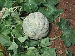 Muskmelon plant