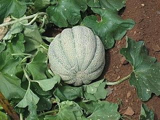 Muskmelon species of plant