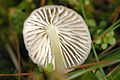 Mycena epipterygia - Lindsey 7b.jpg