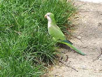 A Monk Parakeet (also known as the Quaker Parr...