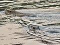 Myocastor coypus in pond of Jokoji Park - 2.jpg