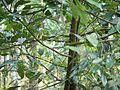 Myristica fragrans (6788946530).jpg