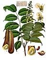 Myroxylon balsamum - Köhler–s Medizinal-Pflanzen-141.jpg
