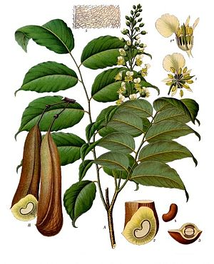 Balsam of Peru - The tree from which Balsam of Peru is derived.