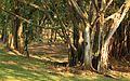 Mystic Forest in Kebun Raya Purwodadi.jpg