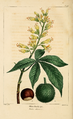 NAS-092 Aesculus glabra.png