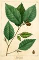 NAS-107 Fagus grandifolia.png