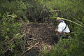 NASA Kennedy Wildlife - Alligator Nest.jpg