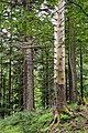 NP Kalkalpen Abgestorbener Baum.jpg