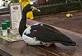 NQLD Magpie Goose read the menu-1 (11886990834).jpg