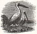 NSRW Pelican.jpg