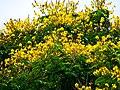 Nada como flores amarelas (2478231452).jpg