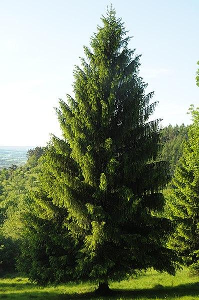 File:Nadelbaum am Farrenberg.jpg
