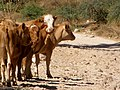 Nahal Dishon, cows 02.jpg