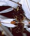 Napoleon Crab Spider (Synaema globusum) with prey ... (44541487122).jpg