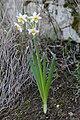 Narcissus tazetta 1.jpg