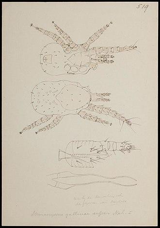 Nymph (biology) - Image: Naturalis Biodiversity Center RMNH.ART.1252 Dermanyssus gallinae (de Geer) Mites Collection Anthonie Cornelis Oudemans