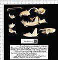 Naturalis Biodiversity Center - RMNH.MAM.53391.a lat - Martes foina foina - skeleton (part).jpeg